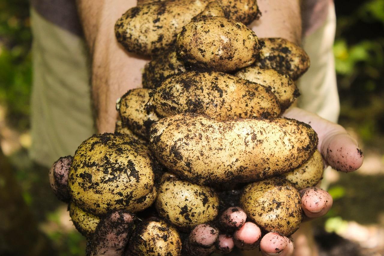 Pommes de terre : comment les empêcher de germer ?